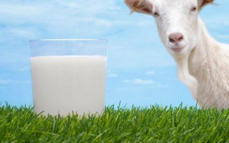 Manfaat Susu Kambing Etawa bagi Kesehatan yang Jarang Diketahui