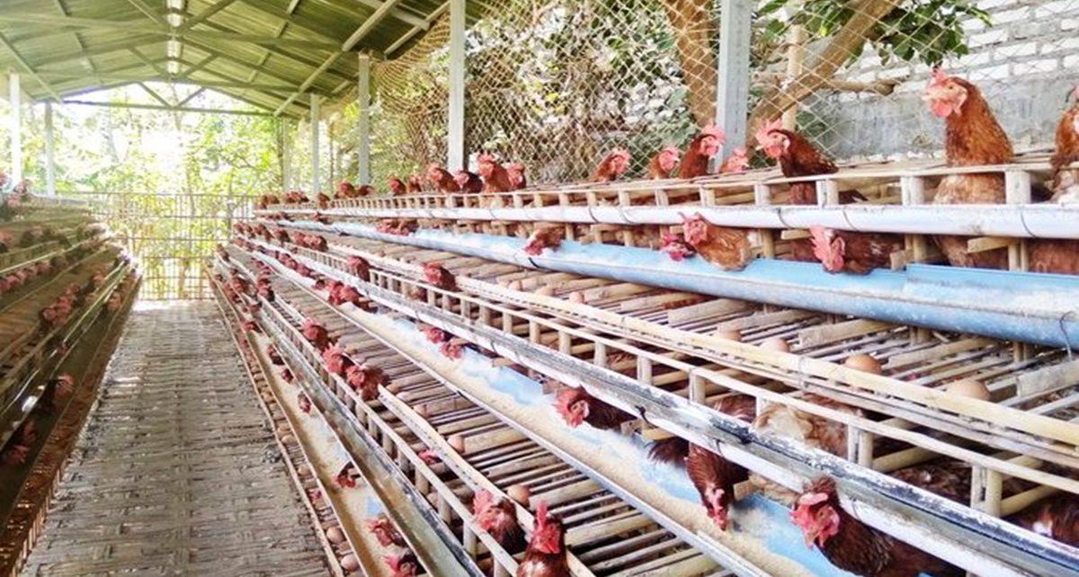 Cara Membuat Kandang Ayam Petelur Sederhana